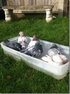 Paul Askew's bathing pigeons