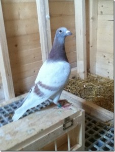 Paul Askew's first pigeon