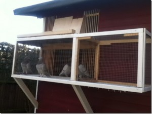 Paul Askew's pigeons getting some fresh air